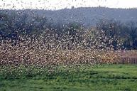 A flock of starlings.