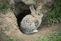 Desert cottontail rabbit in front of its burrow.