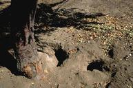 California ground squirrel burrow openings