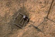 To use a Conibear trap, dig a slice of soil from the entrance so the trap will fit flush to the edges of the burrow entrance.