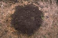 Top view of a mole mound; the margin tends to be circular, as compared to mounds of pocket gophers, which tend to be crescent-shaped.
