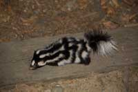 Adult spotted skunk, Spilogale gracilis.