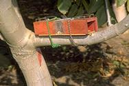 A pair of box-type gopher traps set on tree limb to trap tree squirrels such as the eastern fox squirrel, Sciurus niger.