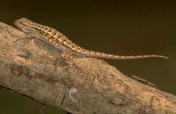 Female western fence lizard.