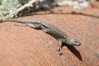 Male western fence lizard.