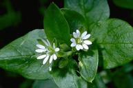 Flower of common chickweed.