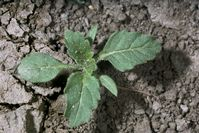 Hairy  				nightshade seedling.