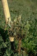 Plant infected with Sclerotinia rot.
