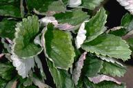 The first sign of powdery mildew is the upward curling of leaves.