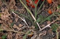 White mold kills the lower stems of plants, turning them white.