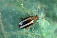 Palestriped flea beetle.