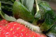 Beet armyworm larvae feed on the fruit of strawberries.