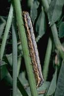 Western yellowstriped armyworm larva.