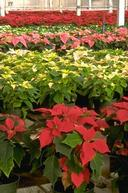 Poinsettia in full bloom.
