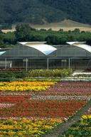 Field-grown bedding plants in full bloom.