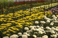 Rows of blooming chrysanthemum in a greenhouse.