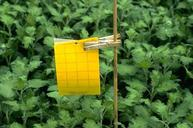 Using a yellow sticky trap in a greenhouse crop.
