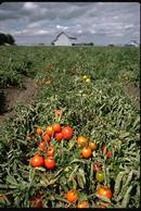 Field of ripe processing tomatoes.