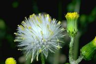 Common groundsel, Senecio vulgaris, flowers.