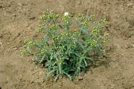 Common groundsel, Senecio vulgaris, mature plant.