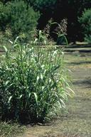 Johnsongrass, Sorghum halepense.