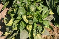 Pepper leaves with curling, crinkling, and pale green to yellow discoloration infected with Tomato spotted wilt virus.