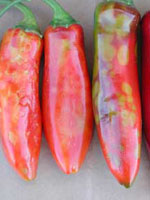 Distorted and spotted jalapeno fruit infected with Tomato spotted wilt virus (left) compared with healthy fruit (right).