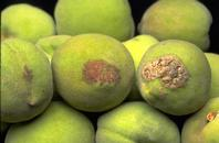 Though uncommon, symptoms on fruit can occur, making the surface corky and cracked.