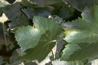 Spider mites damage between veins