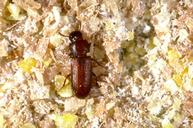 Red flour beetle.