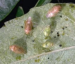 Brown adults and green nymphs of the Pacific ash plant bug