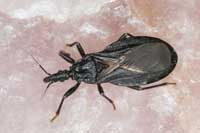 Adult western bloodsucking conenose bug, Triatoma protracta