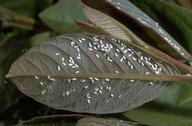 Adult greenhouse whiteflies on undersides of leaves.