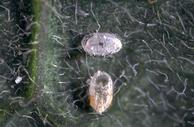A parasite has emerged from the round hole in the whitefly nymph at the bottom.