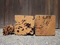 Damage to wood by dampwood, drywood and subterranean termites.