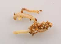 Webbing clothes moth larvae with particles of excrement (frass) and other debris.