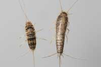 Figure 1. Adult firebrat (left) and silverfish.