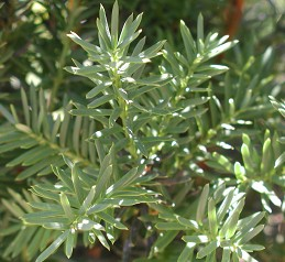 Foliage of yew
