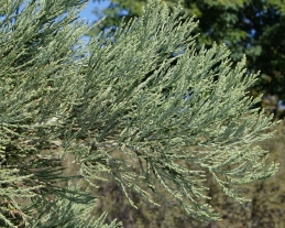 Foliage of Giant sequoia