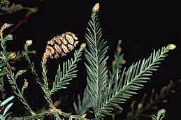 Redwood foliage and cone