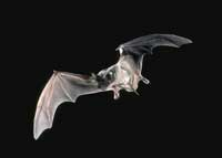 Mexican free-tailed bat in flight.