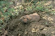 Adult pocket gopher, Thomomys species