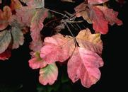 Red autumn coloration of poison oak, Toxicodendron diversilobum.