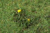 Mature dandelion, Taraxacum officinale, in turfgrass.