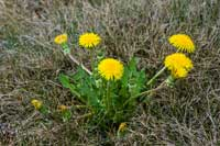 Mature dandelion, Taraxacum officinale.