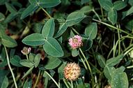 Strawberry clover Trifolium fragiferum flowers and leaves.