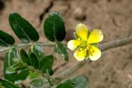 Puncturevine flower, Tribulus terrestris.