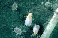 Greenhouse whitefly adults and pupae.