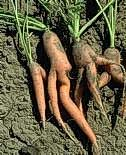 Rocky soil causes forked carrots