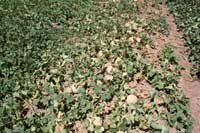 Symptoms of sudden wilt begin with the yellowing of crown leaves.